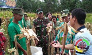 Petani Binaan Kodim 0213/NS Panen Jagung Perdana
